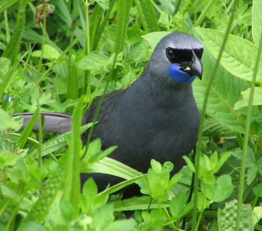 Adult male kōkako feeding on the ground. Image © Suzi Phillips by Suzi Phillips