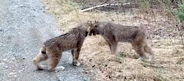 Canada lynx do mock aggressive head butt
