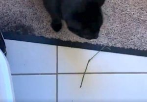 Cat brings stick inside home. Why?