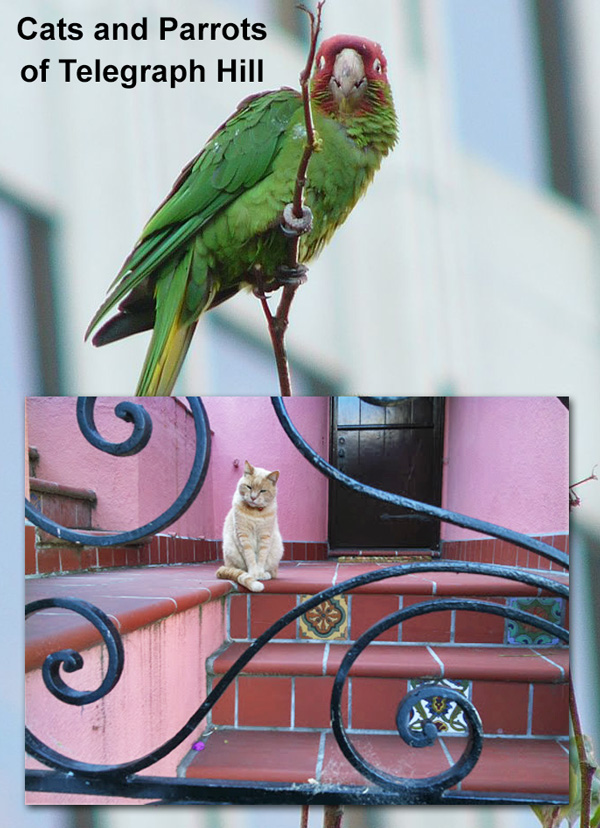 Cat and parrots of Telegraph Hill, San Francisco