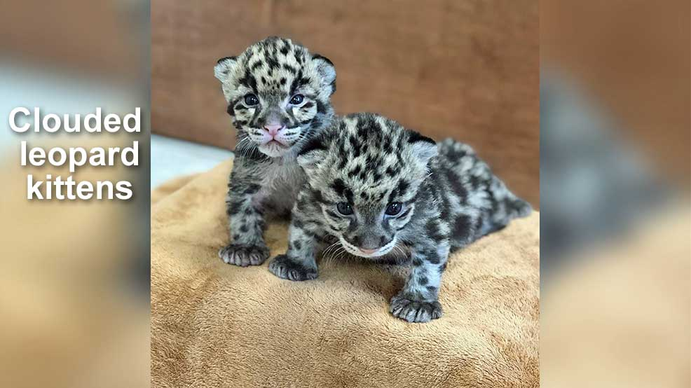 Picture of baby clouded leopards