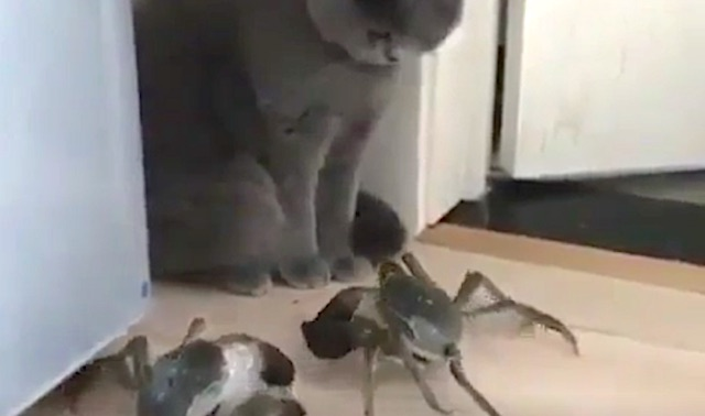Crabs' pincer movement on cornered cat