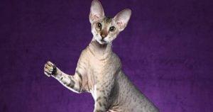 Outstanding Looking Oriental Shorthair Cat