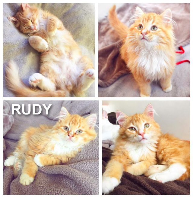 RUDY - a kitten at an animal shelter scheduled for euthanasia