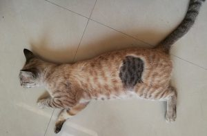 Shaved cat has different colored fur when shaved