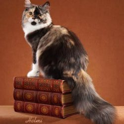 Mila - Siberian cat - photo copyright Helmi Flick