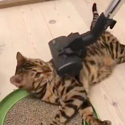 Some cats don't hate vacuum cleaners