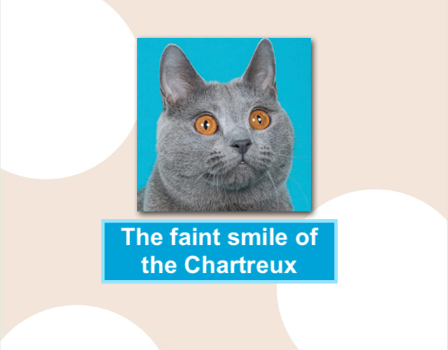 Smiling Chartreux cat
