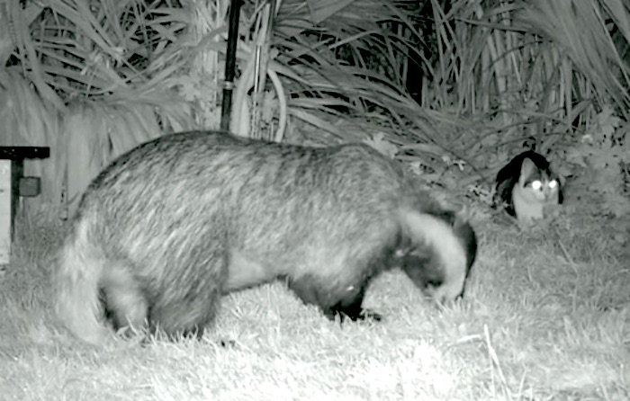 Badger and cat in garden at night