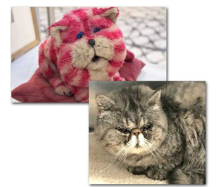 Bagpuss cat Exotic SH up for adoption