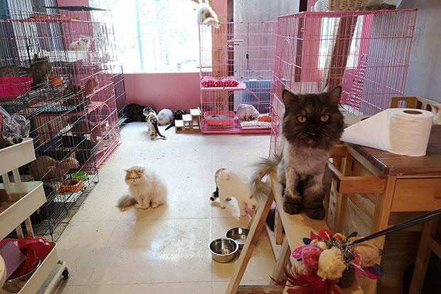 Bangkok cat cafe closed with allegations of cat cruelty