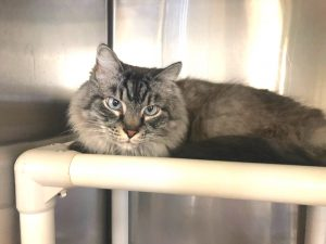 Cat abandoned at PETA's HQ. He looks a bit like a Maine Coon. Not to type but close. Photo: Norfolk Animal Care Center (NACC).