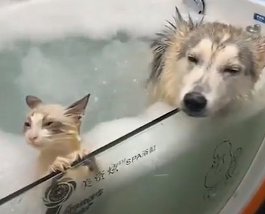 Cat and dog take jacuzzi bubble bath together and they love it. Pure contentment is written all over their faces. Totally weird but fun.