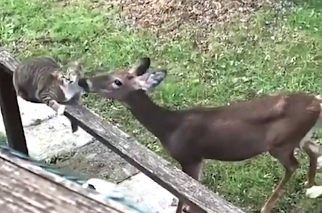 Deer gives cat a thorough drenching of a grooming session