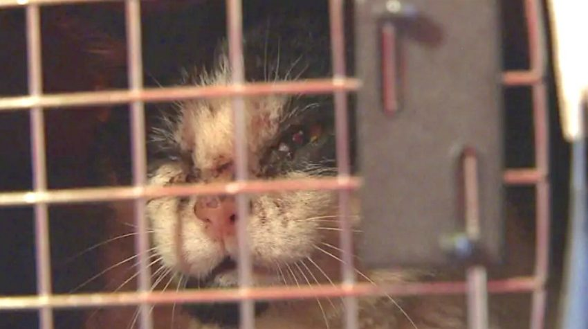 Gerry a feral cat neutered under Emma Manning's TNR work