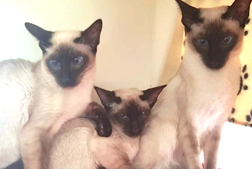 Instant Siamese cat family for adoption from RSPCA