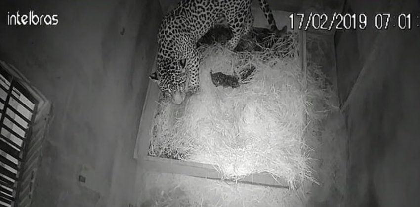 Jaguar cub with mother