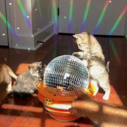 Kitten disco Saturday Night Fever
