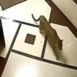 Leopard attacks dog inside home