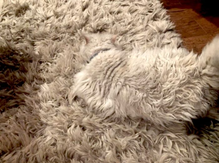 Selkirk Rex camouflaged against matching rug