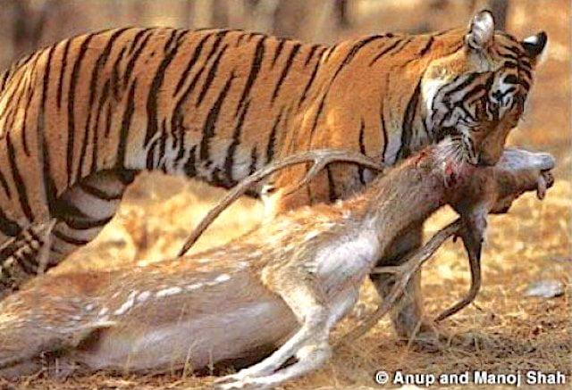 Tiger throat bite