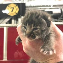 Tiny female bobcat kitten found and taken to a wildlife refuge