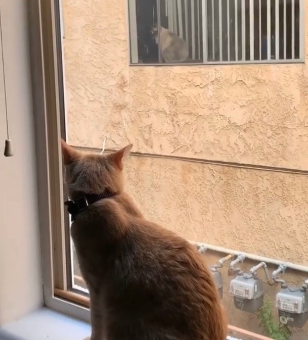 Two cats, Simon and Theo, form friendship from adjacent apartments