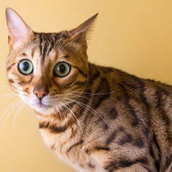 Attentive cat responding