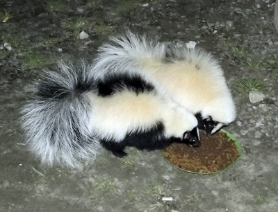 skunks eating