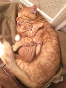 Amazing red tabby cat hug