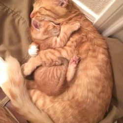 Amazing red tabby cat hug