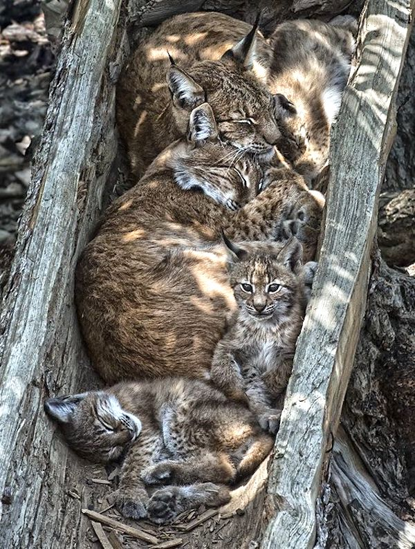 Bobcat family sleeping in tree trunk