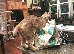 Bobcat rescue hoax on Graigslist