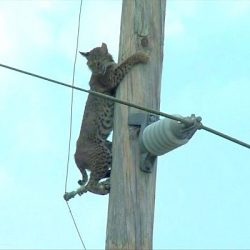 Bobcat on utility pole