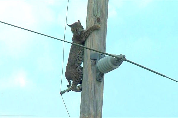 Bobcat on utility pole