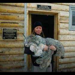 Canada lynx with huge paws