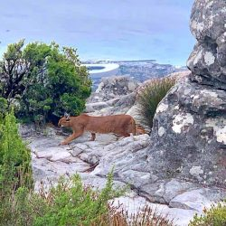 Caracal on Table Mountain SA