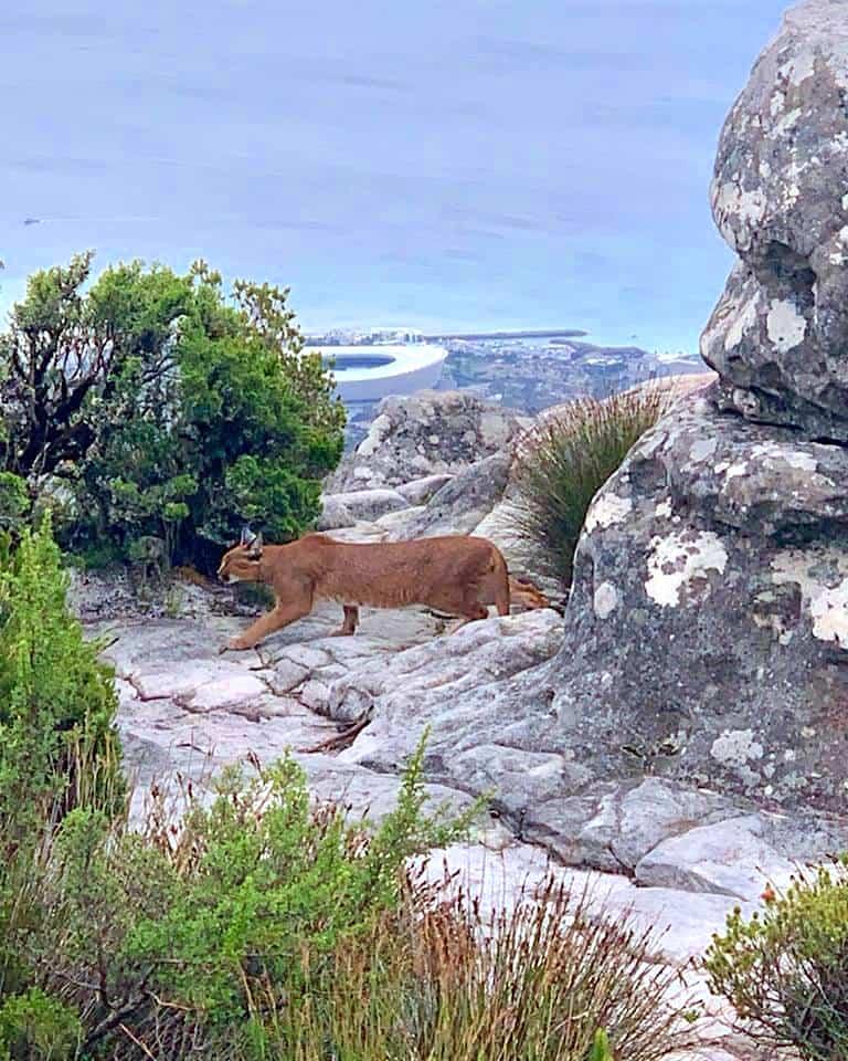 Caracal on Table Mountain SA