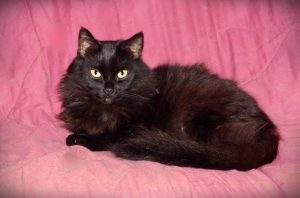 black cat posing