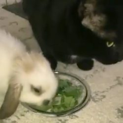 Cat eats bunny friend's greens to be friendly