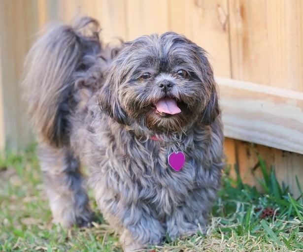 Shih Tzu, a toy dog