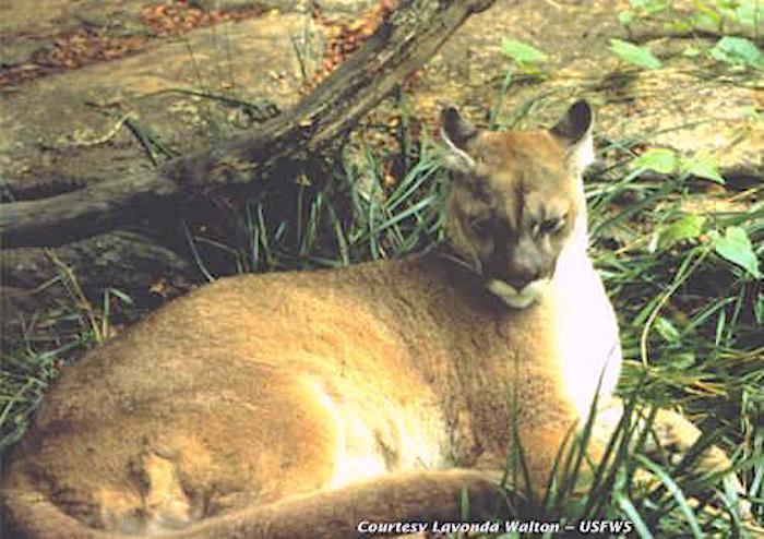 Eastern Cougar