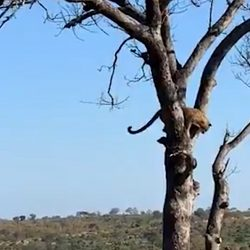 Leopard hunting squirrels in tree