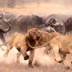 Lionesses hunting buffalo