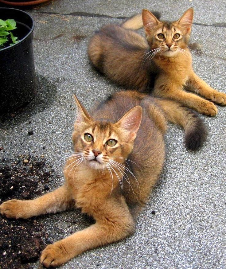 Long haired Abyssinians - the Somali cat