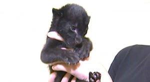 Mishandled jaguar cub