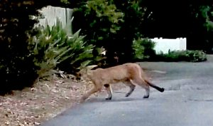 Mountain lion in Santa Barbara County