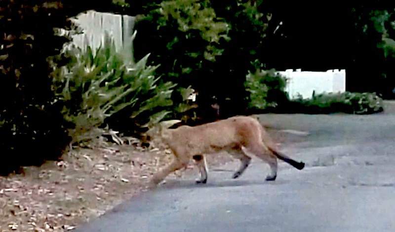 Mountain lion in Santa Barbara County