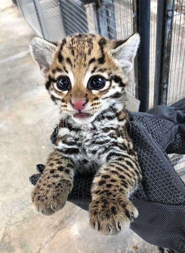 Ocelot kitten