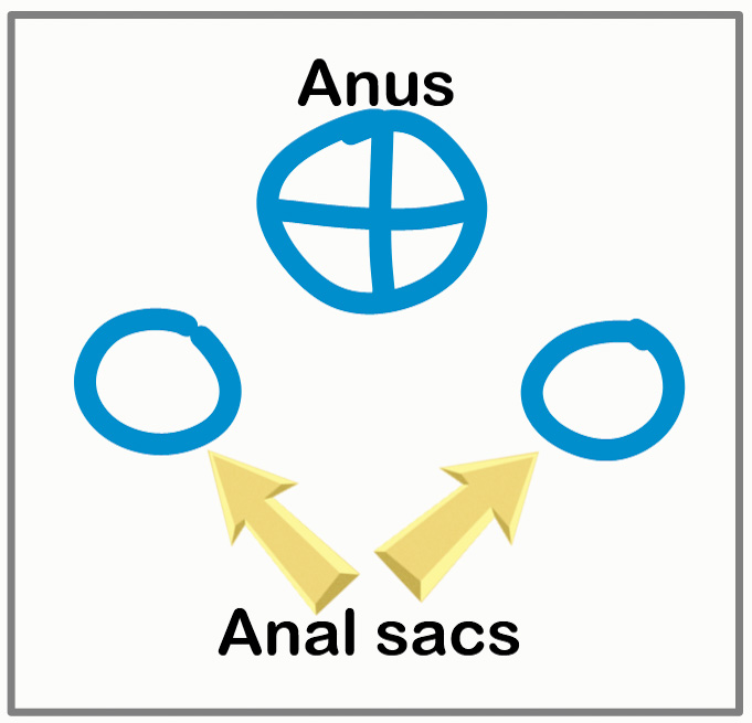 Position of anal sacs
